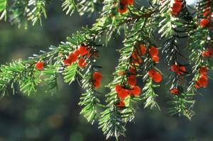 En una leyenda irlandesa, para casarse con una doncella, es condición indispensable que el pretendiente le lleve una rama de acebo, una flor de caléndula y bayas carmesíes del tejo.