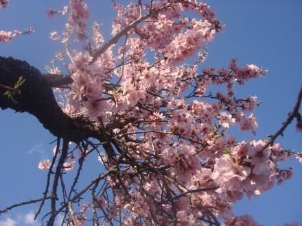 ¡DE nuevo me ha sorprendido el almendro florecido!