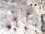 Las flores del cerezo