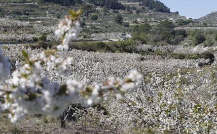 Cerezos en flor en la Vall de Gallinera