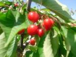 El fruto del cerezo